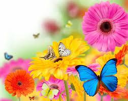 gerberas butterflies flowers butterfly bokeh summer wallpaper