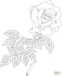 first prize hybrid tea rose coloring page free printable