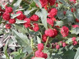idaho native plant society wildflowers at 4200 feet in idaho ask an expert