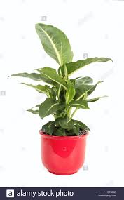 dumb cane mother in law u0027s tongue dieffenbachia sterling plant