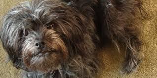 affenpinscher zucht deutschland affenpinscher hunderasse haushund info