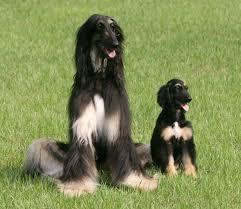 u0027s cloned dog cloned dogs