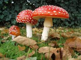 Are Backyard Mushrooms Poisonous List Of Poisonous Mushrooms Gardening Pinterest Poisonous