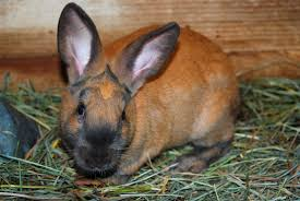 10 best meat rabbit breeds for homesteads the self sufficient