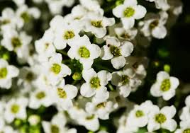 Most Fragrant Plants - top 10 most pleasant smelling flowers the mysterious world