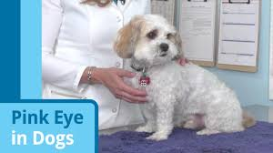 conjunctivitis in dogs treating dog pink eye petmd petmd