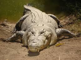file saltwater crocodile jpg wikimedia commons