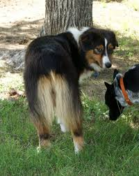 australian shepherd jumping fence twisted branch aussie ranch about us