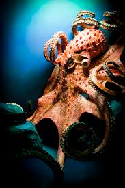 discovering octopuses thurstontalk