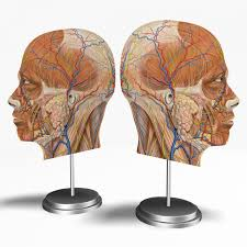 3d Head Anatomy Male Head Cross Section Anatomy 3d Model Cgstudio