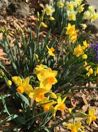 free images flower botany yellow flora wildflower narcissus