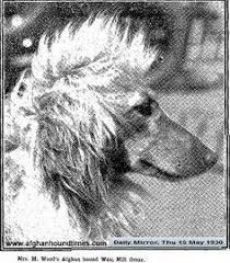 afghan hound vintage afghan hound times begum usa rare photograph 1930 u0027s afghan