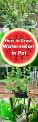 growing watermelon vertically in pots growing watermelons juicy