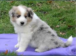 a mini australian shepherd set of useful picture ideas of pomeranian australian shepherd mix