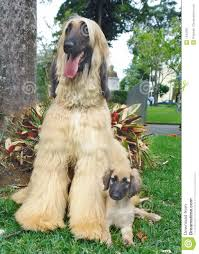 afghan hound tattoo afghan hound puppy and father stock photography image 1642282