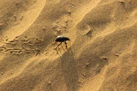 thar desert animals file beetle in thar desert jpg wikimedia commons