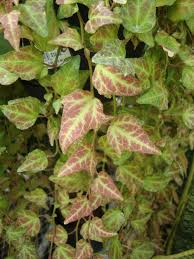photo of the leaves of english ivy hedera helix u0027royal hustler