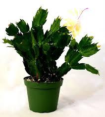 9greenbox rare yellow christmas cactus plant zygocactus 4
