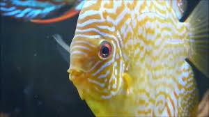 discus fish secrets discus fish care and breeding youtube