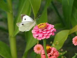 white butterfly images pixabay free pictures