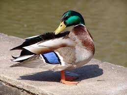 duck pictures pexels free stock photos