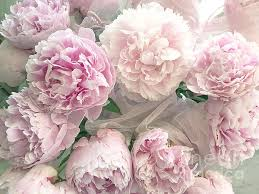 shabby chic pastel pink peonies bouquet romantic pink peony
