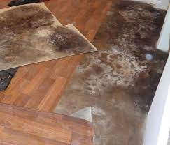 black mold what is it servpro of great neck port washington