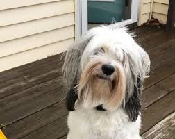 hair cuts for the tebelan terrier tails of a tibetan terrier the daily baxter