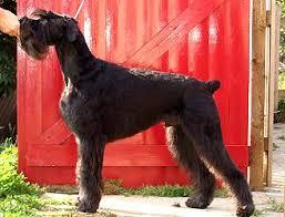 schnauzer hair styles draxpark giant schnauzer grooming guide
