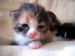 Sleepy Cat Meme - all kitten tuesday teeny ear central cute overload