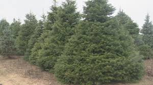 real christmas trees rocking around a real christmas tree will cost you this year wwmt