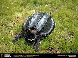 alligator snapping turtle picture alligator snapping turtle
