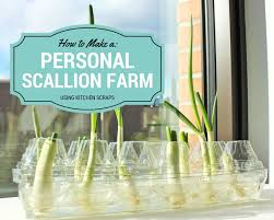 video regrow scallions all year round with your own personal