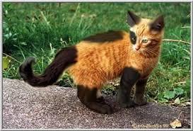 beautiful kittens image kitten with unusual orange black markings cats cats