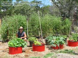 vegetable gardening veggies growing in straw bales dirt and