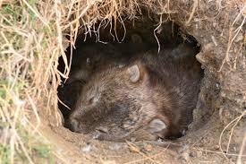 wombat san diego zoo animals u0026 plants