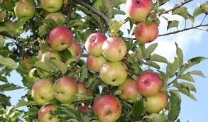 wiki apple tree waking times