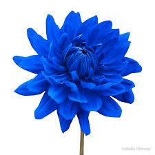 blue flower blue dahlia flower white background prints by natalie kinnear