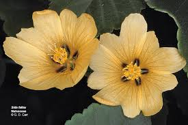 Hawaiian Flowers And Plants - flowering plant families uh botany