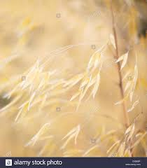 dried ornamental grasses with soft focus and shallow depth of