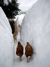 chicken u0027s walk ice snow fine useless