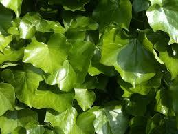 free stock photo of climbing plant green ivy