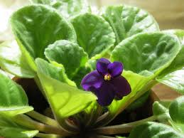 learn about nature african violets one of the most popular