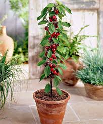 columnar cherry tree u0027sylvia u0027 product photo indoor gardening