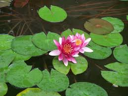 Plants Blooming Free Images Water Nature Leaf Round Flower Petal Lake