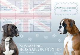 100 boxer dog litter expected mid september boxsanuk boxers newcastle upon