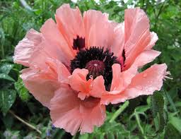 19 best opium and poppy images on poppies