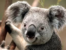koala hashtag twitter
