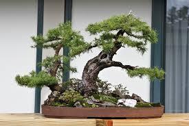 143 best penjing images on pinterest bonsai trees bonsai plants