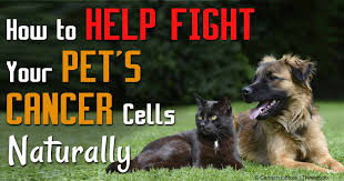belgian shepherd stomach cancer fermented vegetables for pets a potent cancer fighter